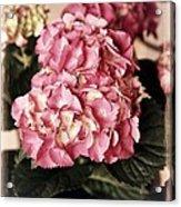 Hydrangea On The Veranda Acrylic Print by Carol Groenen