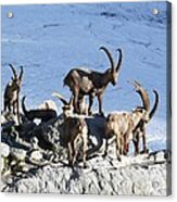 Ibex By A Glacier Acrylic Print by Science Photo Library