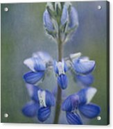 In Full Bloom Acrylic Print by Priska Wettstein