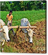 Indian Farmer Plowing With Bulls Acrylic Print by Image World