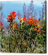 Indian Paintbrush Acrylic Print by Robert Bales