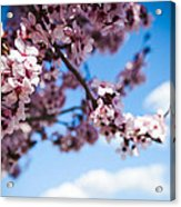 Japanese Sakura Acrylic Print by Anthony Citro