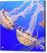 Jellyfish 9 Acrylic Print by Bob Christopher