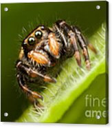 Jumping Spider Phidippus Clarus I Acrylic Print by Clarence Holmes
