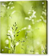 June Green Grass Flowering Acrylic Print by Elena Elisseeva