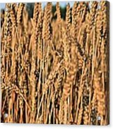 Just Wheat  Acrylic Print by JC Findley