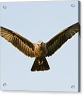 Juvenile Brahminy Kite Hovering Acrylic Print by Tim Gainey