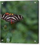 Kanapaha Butterfly I Acrylic Print by Charles Warren