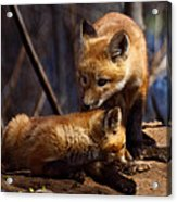 Kit Foxes Acrylic Print by Thomas Young