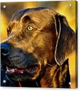 Lab Puppy At Sunset Acrylic Print by Kristina Deane