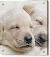 Labrador Retriever Puppies Sleeping  Acrylic Print by Jennie Marie Schell