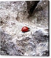 Ladybird Acrylic Print by Lucy D