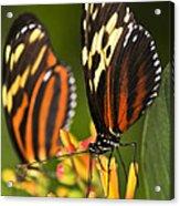 Large Tiger Butterflies Acrylic Print by Elena Elisseeva