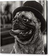 Last Call Pug Greeting Card Acrylic Print by Edward Fielding