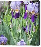 Lavender Iris Group Acrylic Print by Teresa Mucha