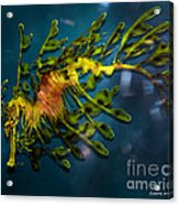 Leafy Sea Dragon Acrylic Print by Artist and Photographer Laura Wrede