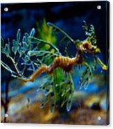 Leafy Sea Dragon Acrylic Print by Tim Nichols