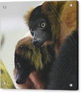 Lemur - National Zoo - 01131 Acrylic Print by DC Photographer
