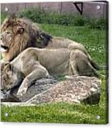 Leo And Una - Twin Male And Female Lions At The University Of North Alabama Acrylic Print by Carol M Highsmith