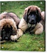 Leonberger Puppies Acrylic Print by Gun Legler