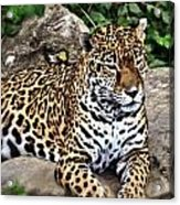 Leopard At Rest Acrylic Print by Marty Koch