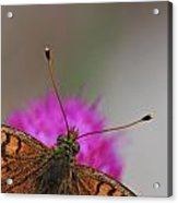 Lesser Spotted Fritillary Acrylic Print by Amos Dor