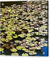 Lilly Pads Acrylic Print by David Pyatt