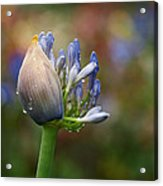 Lily Of The Nile Acrylic Print by Rona Black