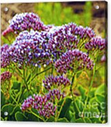 Limonium - Statice Acrylic Print by Artist and Photographer Laura Wrede