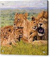 Lion Family Acrylic Print by David Stribbling