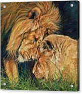 Lion  Love Acrylic Print by David Stribbling