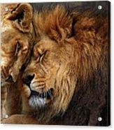 Lions In Love Acrylic Print by Emmanuel Panagiotakis