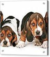 Litter Of Basset Hound Puppies Acrylic Print by Susan Schmitz