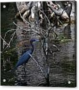 Little Blue Heron Acrylic Print by Skip Willits