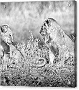 Little Lion Cub Brothers Acrylic Print by Adam Romanowicz
