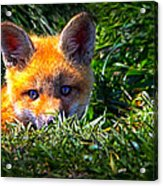Little Red Fox Acrylic Print by Bob Orsillo
