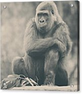 Looking So Sad Acrylic Print by Laurie Search
