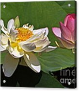 Lotus Pink -- Lotus White And Gold Acrylic Print by Byron Varvarigos