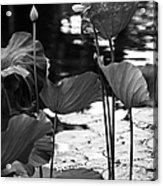 Lotuses In The Pond I. Black And White Acrylic Print by Jenny Rainbow
