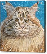 Maine Coon Cat Acrylic Print by Kathy Marrs Chandler