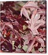Maine Maple Leaves Acrylic Print by Lena Hatch
