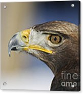 Majestic Golden Eagle Acrylic Print by Inspired Nature Photography Fine Art Photography