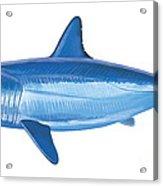 Mako Shark Acrylic Print by Carey Chen