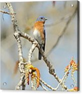 Male Bluebird In Budding Tree Acrylic Print by Robert Frederick