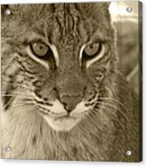 Male Bobcat - Sepia Acrylic Print by Jennifer  King