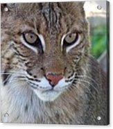 Male Bobcat1 Acrylic Print by Jennifer  King