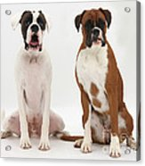 Male Boxer With Female Boxer Dog Acrylic Print by Mark Taylor