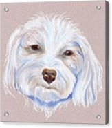 Maltipoo With An Attitude Acrylic Print by MM Anderson