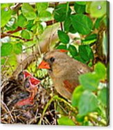 Mama Bird Acrylic Print by Frozen in Time Fine Art Photography