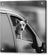 Mans Best Friend Riding Shotgun Acrylic Print by Bob Orsillo